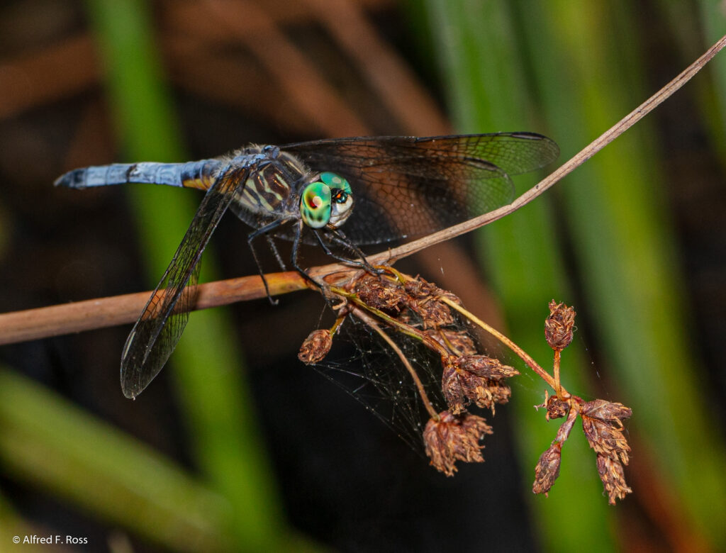Blue Dasher Dragonfly, open wings