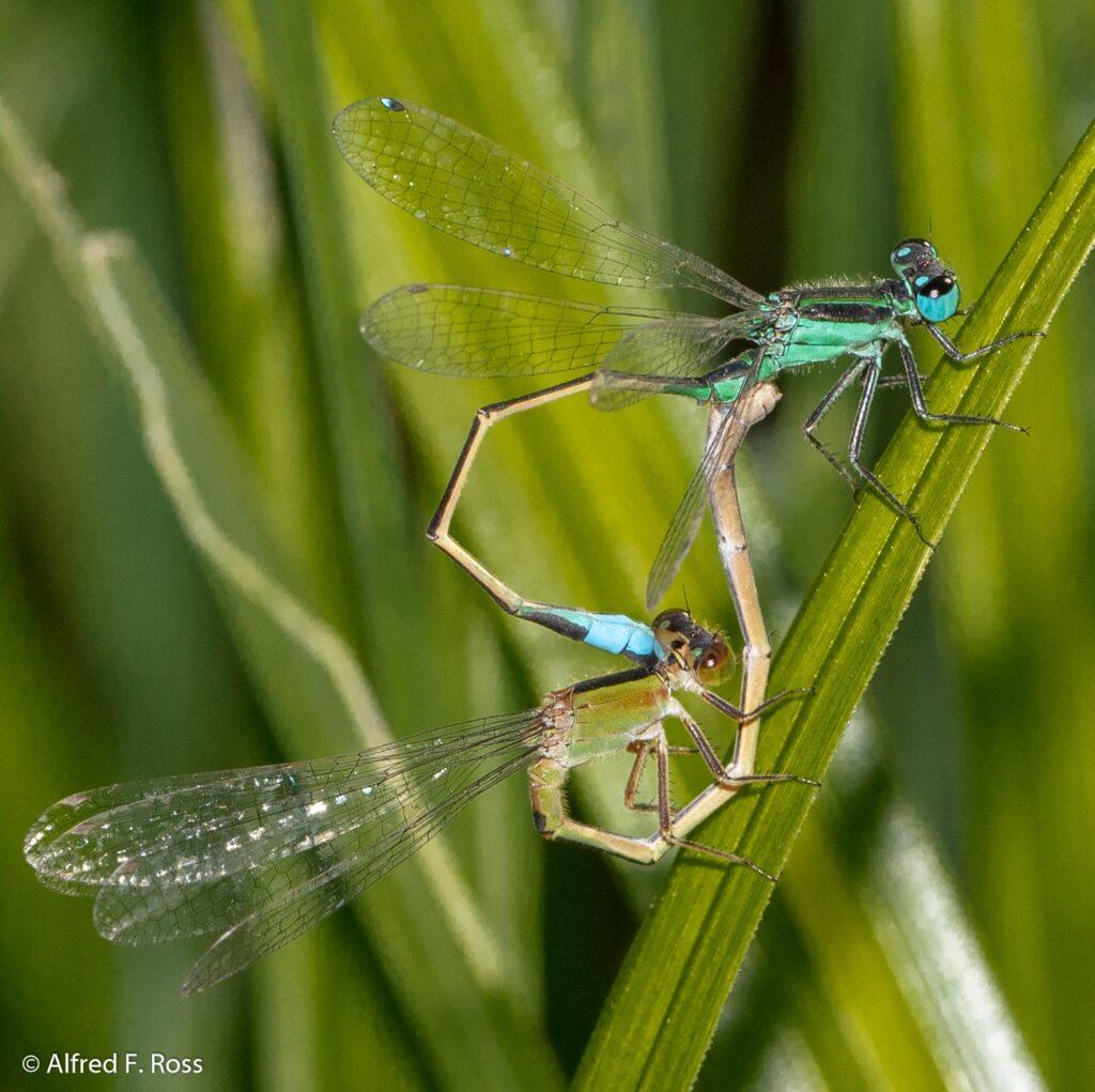 Mating Bluet Damselflies